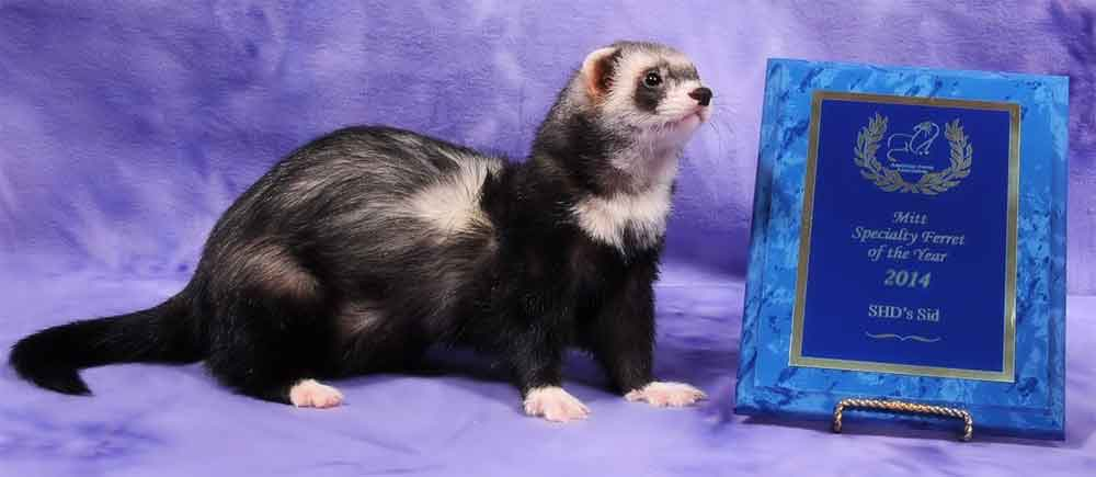 AFA 2014 Mitt Specialty Ferret of the Year - SHD's Sid
