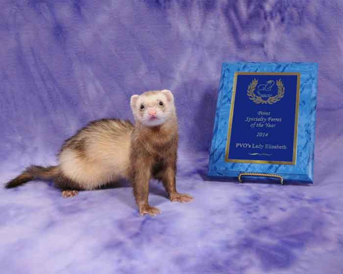 AFA 2014 Point Specialty Ferret of the Year - PVO's Lady Elizabeth