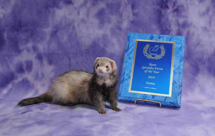 AFA 2014 Roan Specialty Ferret of the Year - Emma