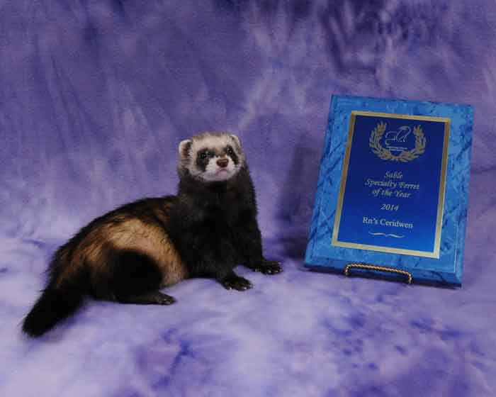 AFA 2014 Sable Specialty Ferret of the Year - RN's Ceridwen