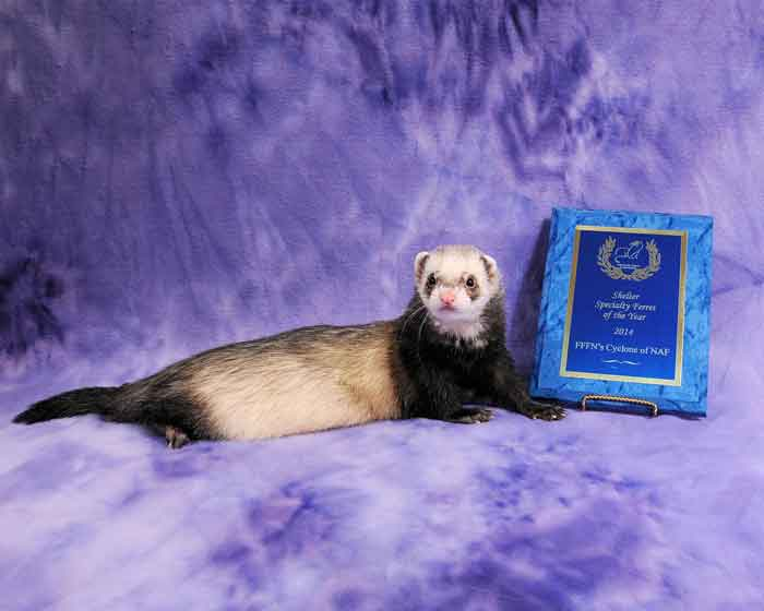 AFA 2014 Shelter Specialty Ferret of the Year - FFFN's Cyclone of NAF