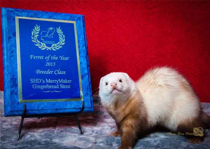 AFA 2015 Breeder Ferret of the Year - SHD's MerryMaker Gingerbread Stout
