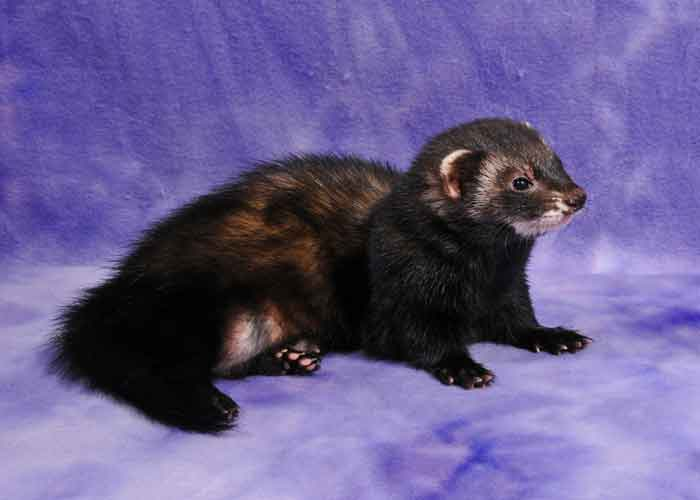 AFA 2015 Black Sable Specialty Ferret of the Year - TCF's Musta Kuin Synti