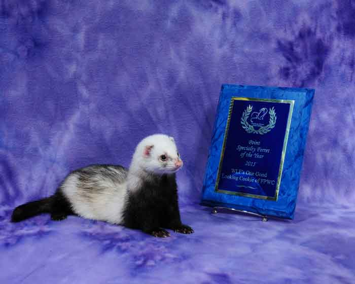 AFA 2015 Point Specialty Ferret of the Year - WLF's One Good Looking Cookie of FPWC