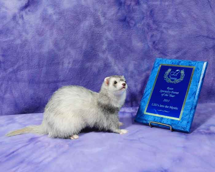AFA 2015 Roan Specialty Ferret of the Year - LSD's Into the Mystic
