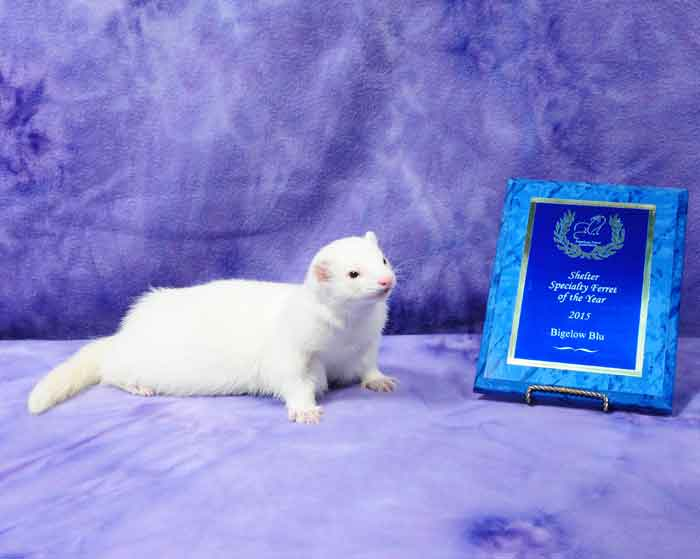 AFA 2015 Shelter Specialty Ferret of the Year - Bigelow Blu