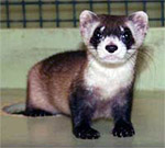 Donate to the Black-footed ferret fund
